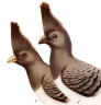 Pair of White-bellied Go-away Birds