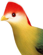 Red-crested Turaco. Click to enlarge.