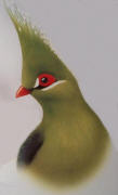 Schalow's Turaco. Click to enlarge.