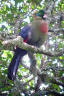 Ruwenzori Turaco - photo by Nik Borrow