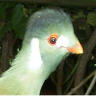 Cinnamon White-cheeked Turaco